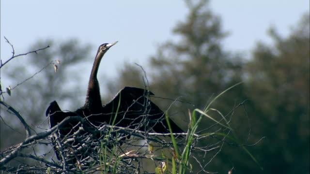 vídeos y material grabado en eventos de stock de a darter stretches its wings to dry. available in hd. - cuello de animal