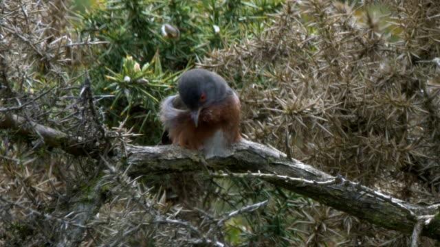 dartford warbler (sylvia undata) on a branch. south downs - ムシクイ類点の映像素材/bロール