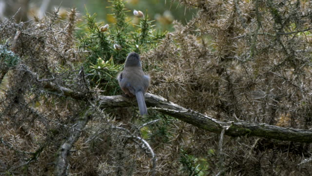 dartford warbler (sylvia undata) on a branch takes off. south downs - ムシクイ類点の映像素材/bロール