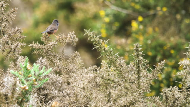 dartford warbler (sylvia undata) perched on gorse and flying away, south downs - ムシクイ類点の映像素材/bロール