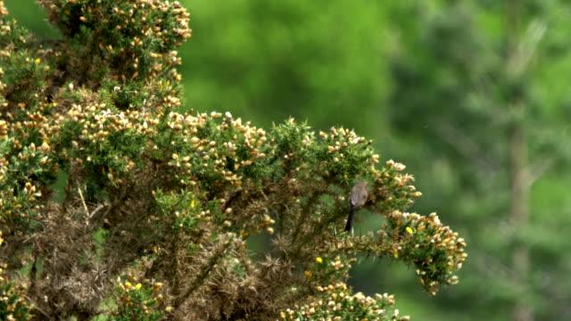 dartford warbler (sylvia undata) searching for food on gorse, south downs - ムシクイ類点の映像素材/bロール