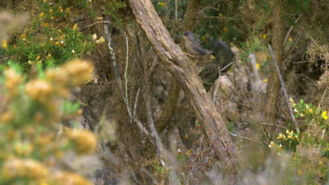 dartford warblers (sylvia undata) flying onto a branch among the gorse bushes, south downs - ムシクイ類点の映像素材/bロール