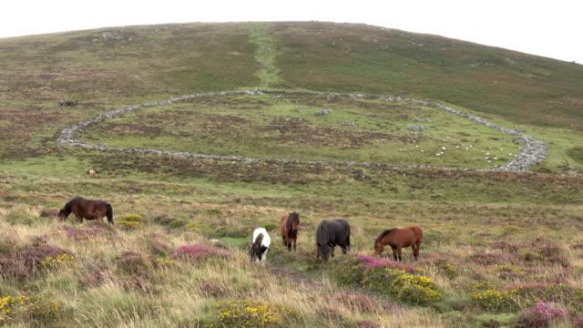 dartmoor national park ponies horses walk ancient village of grimspound devon england uk - dartmoor stock videos & royalty-free footage
