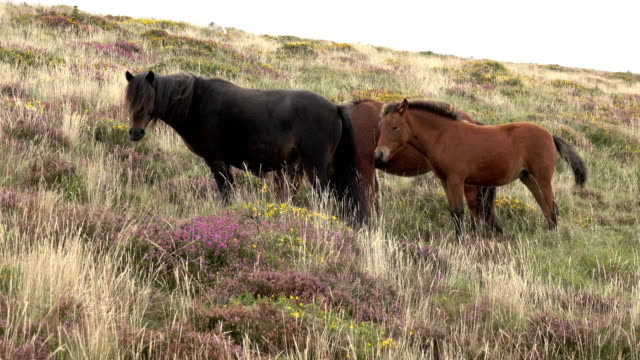 dartmoor national park pony horse herd walks moor dartmoor national park devon england uk - devon stock videos & royalty-free footage