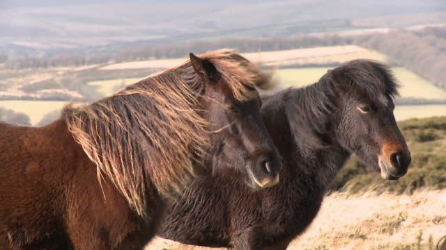 dartmoor ponies standing in wind, dartmoor, uk - animal hair点の映像素材/bロール