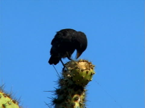 darwin's finch on cactus - galapagos islands stock videos & royalty-free footage