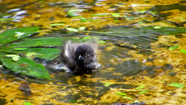 darwin's finch take a shower. - galapagos islands stock videos & royalty-free footage