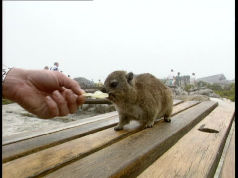 dassie eating crisps from hand on picnic table table mountain - 塩味スナック点の映像素材/bロール