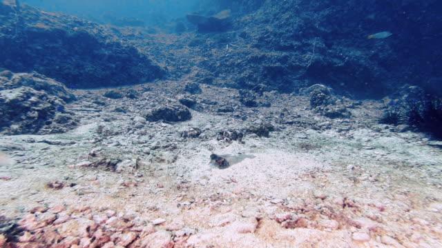 dasyatis kuhlii (neotrygon kuhlii) stingray underwater 4k - bluespotted stingray stock videos & royalty-free footage