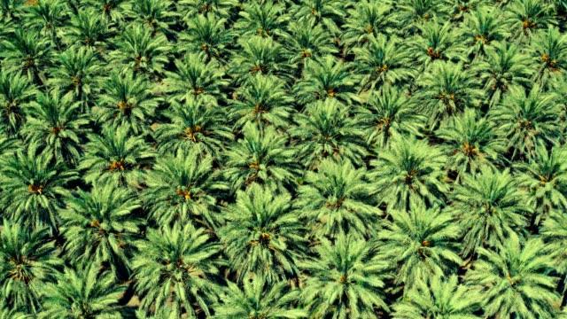 vidéos et rushes de plantation de palmier dattier - israël