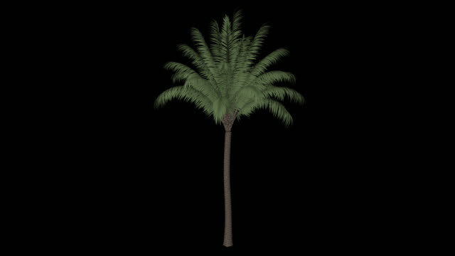 date palm tree - palm tree stock videos & royalty-free footage