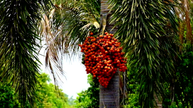 date palm - tropical tree stock videos & royalty-free footage
