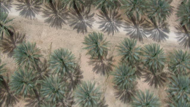 AERIAL Date Palms (Phoenix dactylifera) in desert landscape, Negev Desert, Israel