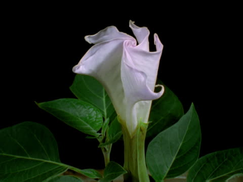 vídeos de stock, filmes e b-roll de a datura flower opening - pistilo