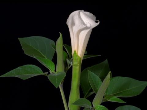 vídeos y material grabado en eventos de stock de a datura flower opening - artbeats
