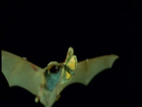 daubenton's bat catches large yellow underwing moth at night - moth stock videos and b-roll footage