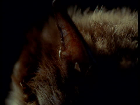 vídeos de stock, filmes e b-roll de daubenton's bat ear, uk - squiggle