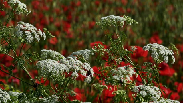 daucus carota, wild carrot,  and poppies south of france - carrot stock-videos und b-roll-filmmaterial