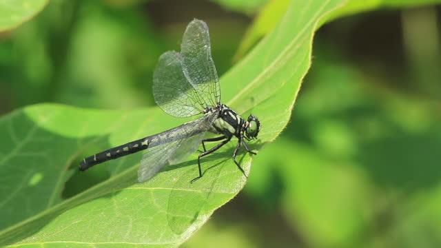 davidius lunatus (dragonfly) - utfällda vingar bildbanksvideor och videomaterial från bakom kulisserna