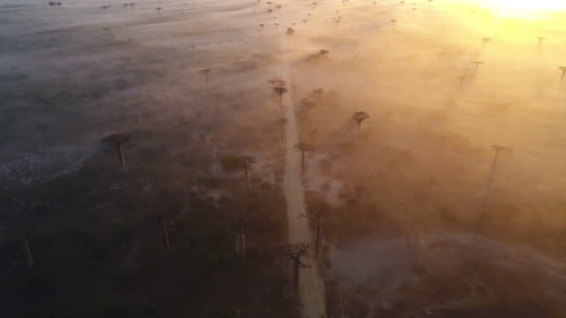dawn and morning mist rolling over the allee de baobab (avenue of the baobabs) with a beautiful sunrise from the right. aerial drone footage. madagascar - マダガスカル点の映像素材/bロール
