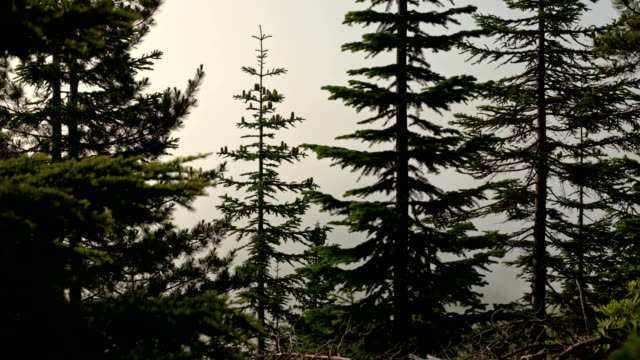 Dawn fog and clouds forest of subalpine fir trees on Mt. Hood