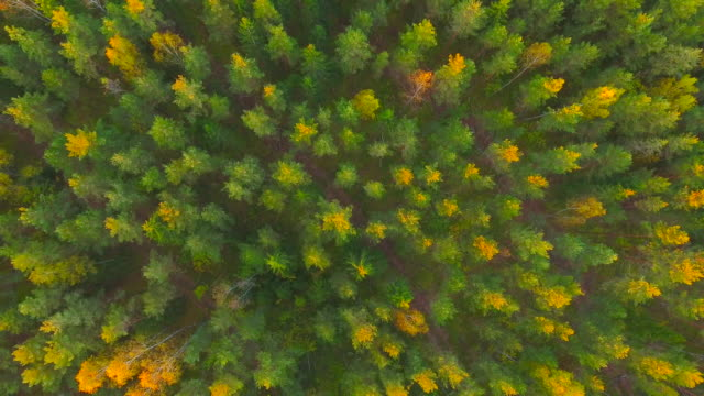 dawn in autumn. aerial view. flying over the forest trees and river. - invertebrate stock videos & royalty-free footage