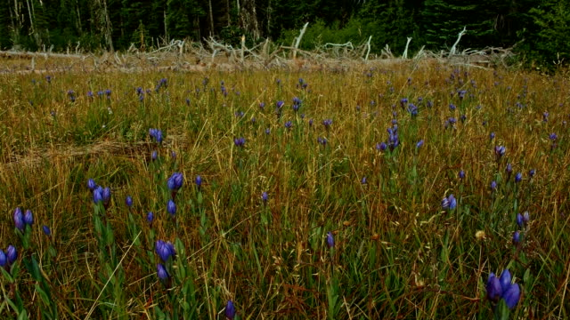 dawn in forest meadow with wildflowers - oregon us state stock videos & royalty-free footage