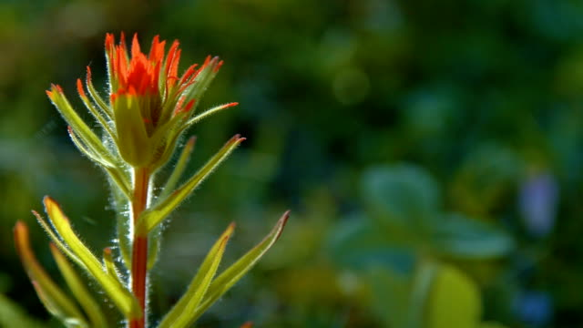 stockvideo's en b-roll-footage met dawn macro red indian paintbrush flower grandiflorum wildflowers in spring glowing forest meadow 2 mt. hood spring forest oregon cascade mountains - pacific crest trail