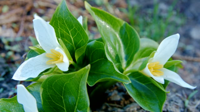 vídeos y material grabado en eventos de stock de dawn macro white trillium tri flower grandiflorum wildflowers in spring forest meadow 2 mt. hood spring forest oregon cascade mountains - trillium