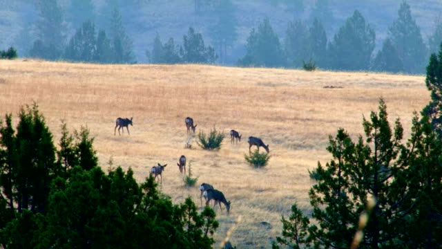 dawn mule deer western ranch oregon 3 - mule stock videos & royalty-free footage