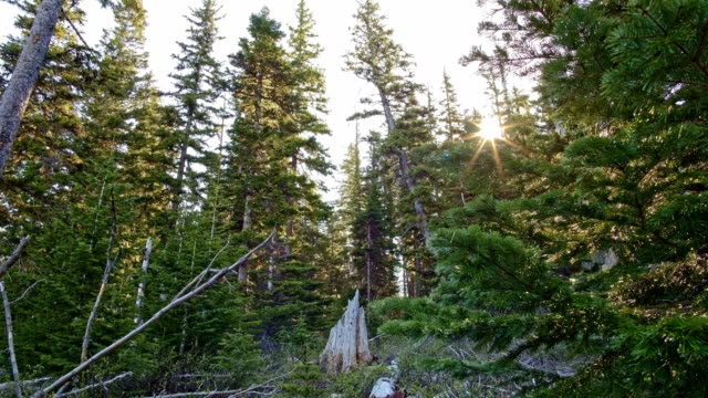stockvideo's en b-roll-footage met dawn sunrise fir trees and light rays filtering lens flare with stump in forest on mt. hood sun moving - pacific crest trail