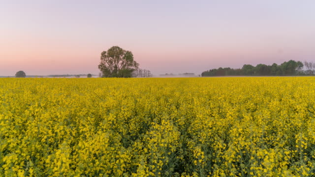 T/L Dawn to day time lapse shot of the canola field