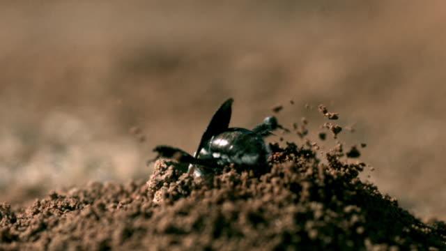 slomo dawson's bee digs nest tunnel, western australia - nido di animale video stock e b–roll