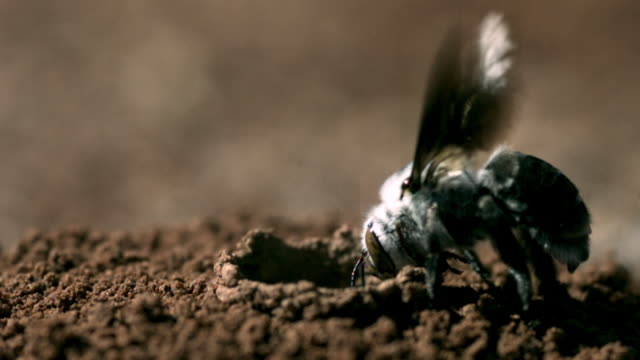 slomo dawson's bee enters nest tunnel, western australia - animal nest stock videos & royalty-free footage
