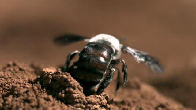slomo dawson's bee leaves nest tunnel, western australia - animal nest stock videos & royalty-free footage