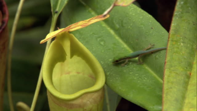 day gecko (phelsuma) approaches pitcher plant (nepenthes), madagascar - carnivorous plant stock videos and b-roll footage