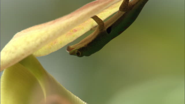 day gecko (phelsuma) eats ant on pitcher plant urn (nepenthes), madagascar - upside down stock videos and b-roll footage
