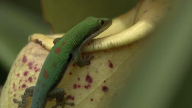 Day gecko (Phelsuma) hunts on pitcher plant urn (Nepenthes), Madagascar