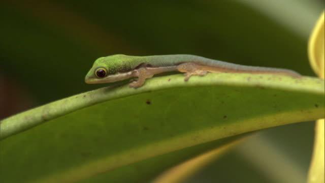 day gecko (phelsuma) jumps from leaf, madagascar - bbc点の映像素材/bロール