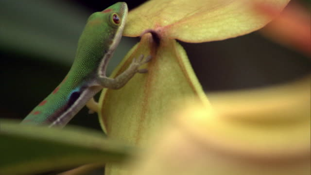 vídeos y material grabado en eventos de stock de day gecko (phelsuma) licks nectar from pitcher plant urn (nepenthes), madagascar - planta pitcher
