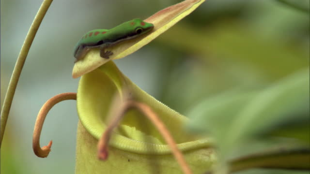 day gecko (phelsuma) licks nectar from pitcher plant urn (nepenthes), madagascar - upside down stock videos and b-roll footage