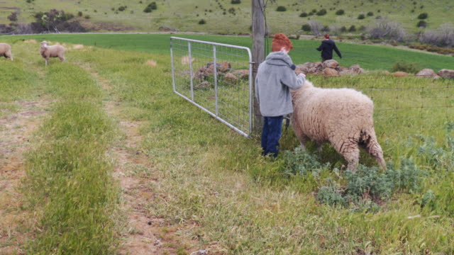 A day in the life of a farming family: child taking care of a sheep