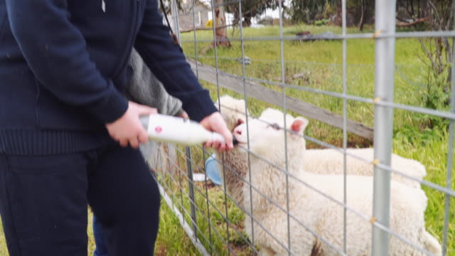 A day in the life of a farming family: kids feeding lambs