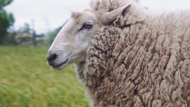 vidéos et rushes de a day in the life of a farming family: kids taking care of a sheep - mouton