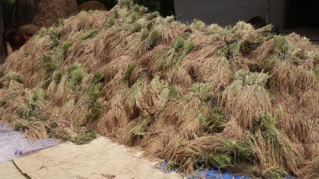 day laborer cutting paddy from a field of irri season harvest on dhamoir hat thana of naogoan district northern side of bangladesh irri is the second... - 麦わら帽子点の映像素材/bロール