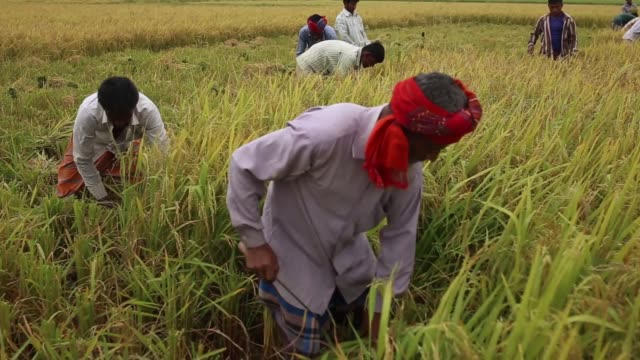 Day laborer cutting Paddy from a field of IRRI season harvest on Dhamoir Hat Thana of Naogoan District northern side of Bangladesh IRRI is the second...