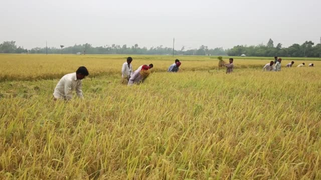 vídeos de stock, filmes e b-roll de day laborer cutting paddy from a field of irri season harvest on dhamoir hat thana of naogoan district northern side of bangladesh irri is the second... - trabalhador rural