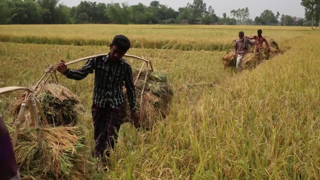 day laborer cutting paddy from a field of irri season harvest on dhamoir hat thana of naogoan district northern side of bangladesh irri is the second... - years stock videos and b-roll footage