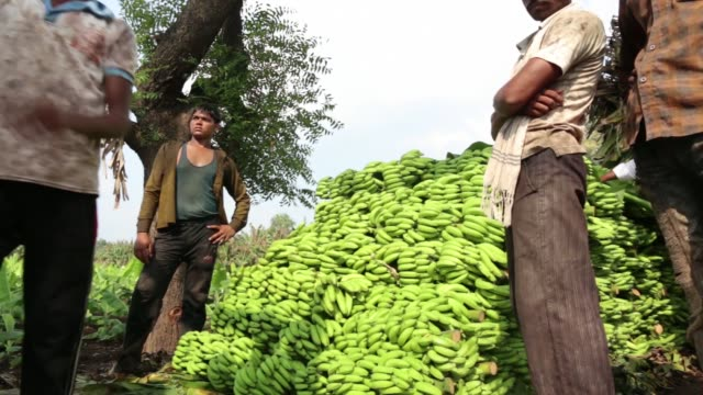 day laborers carry banana stems on their heads, a day laborer arranges stacked banana stems, day laborers carry banana stems onto a truck, day... - banana stock videos & royalty-free footage
