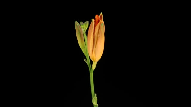 day lily bud, timelapse - day lily stock videos & royalty-free footage